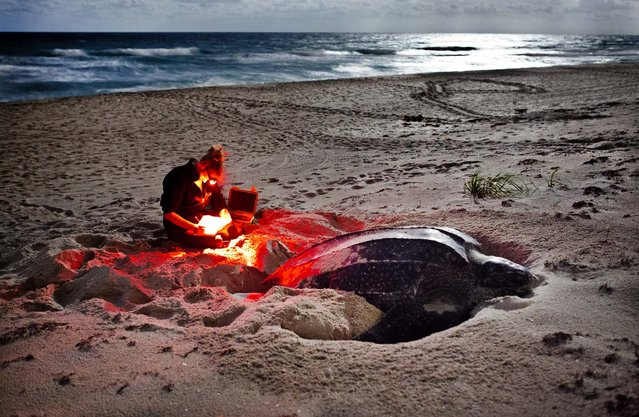 Biologist Kelly Martin records her measurements of Electra, a 5 1/2 foot leatherback turtle nesting on the beach behind the Seminole Golf Club course in Juno Beach. Martin uses a red light which is invisible to turtles. (Photo by Greg Lovett/The Palm Beach Post)