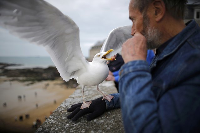 A man feeds a seagull during a record low tide in Saint Malo, western France, March 21, 2015. (Photo by Stephane Mahe/Reuters)
