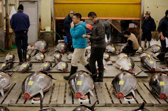 Prospective buyers inspect the quality of fresh tuna fish before the first auction of the year at Tsukiji fish market in Tokyo, early Thursday, January 5, 2017. (Photo by Eugene Hoshiko/AP Photo)