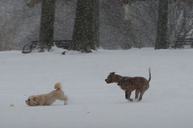Two dogs play in the snow during a winter snow storm in Medford, Massachusetts, U.S. January 7, 2017. (Photo by Brian Snyder/Reuters)