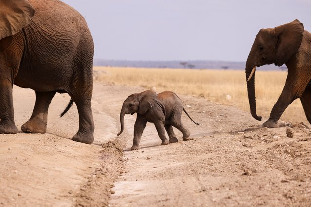 An Elephant calf crosses a road in the Amboseli National Park, Kenya, August 10, 2021. (Photo by Baz Ratner/Reuters)