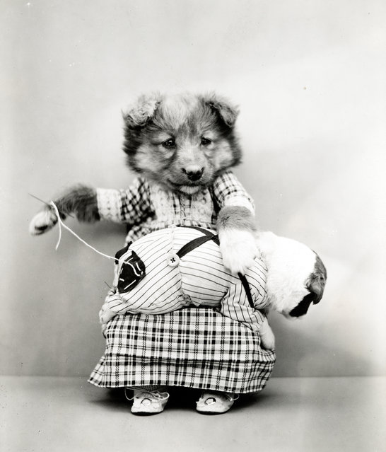 Photograph shows a puppy wearing a dress and sewing a patch on the pants of a tiny puppy on her lap, 1914. (Photo by Harry Whittier Frees/Library of Congress)