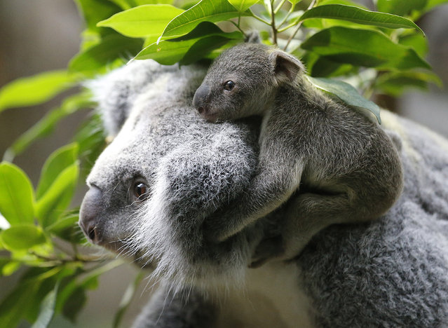 A six and a half month old koala joey sits on the mother Eora's back during a media opportunity at Duisburg Zoo in Germany, on January 22, 2014. The female koala has not yet been named and the zoo is  asking fans to vote for a name on a social networking site. (Photo by Frank Augstein/Associated Press)