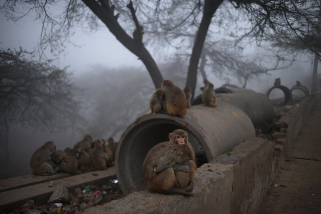 Monkeys huddle together by a roadside to keep warm early in the morning as they wait for charitable Hindus to feed them, in New Delhi, India, Thursday, January 30, 2014. Hindus believe that feeding monkeys bring them the blessings of Hindu monkey god, Lord Hanuman. (Photo by Saurabh Das/AP Photo)