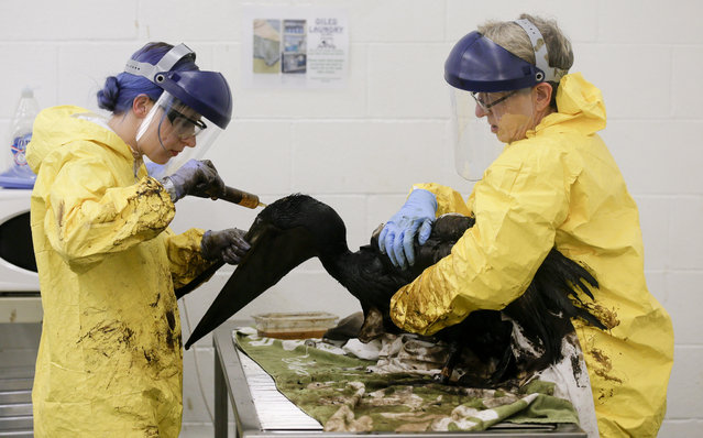 Staff members and volunteers work to clean oil off a brown pelican at the International Bird Rescue office in the San Pedro area of Los Angeles, on Friday, May 22, 2015. A broken onshore pipeline in near Santa Barbara, Calif., spewed oil down a storm drain and into the ocean for several hours Tuesday before it was shut off. (Photo by Chris Carlson/AP Photo)