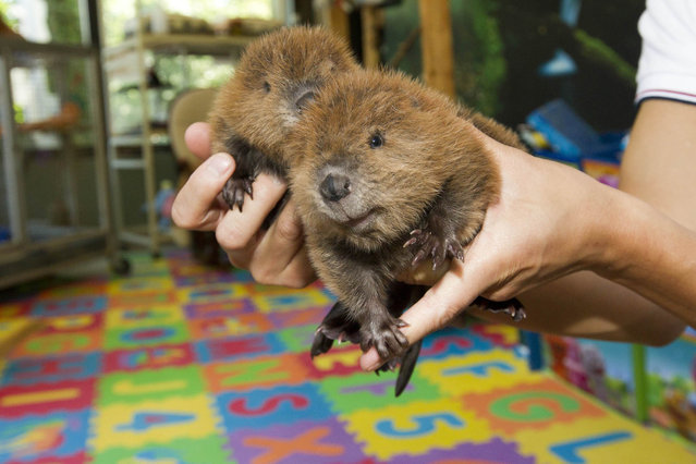 Tayanita and Ashokan, a pair of two-week-old baby beaver kits are held in the nursery of the Staten Island Zoo Monday, May 25, 2015, in the Staten Island borough of New York. The orphaned females were adopted by the zoo after their mother was killed in a trap, in Ithaca, leaving behind 6 babies. (Photo by Chad Rachman/New York Post)