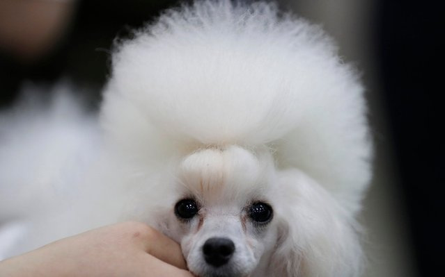 Melody, a female toy poodle, is groomed for a dog show in Goyang, South Korea, Saturday, June 15, 2019. The dog show will be from June 15 to June 16. (Photo by Lee Jin-man/AP Photo)