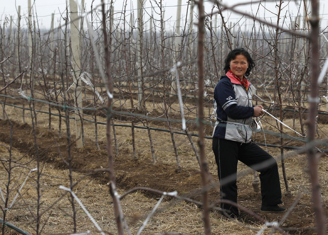 A woman smiles as she works at Daedonggang Fruit Farm, with 125 hectares of apple trees, on the outskirts of Pyongyang April 10, 2012. (Photo by Bobby Yip/Reuters)