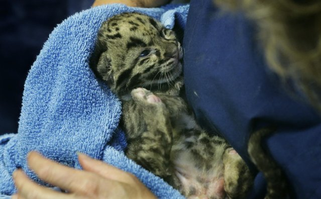 One of the four clouded leopard cubs currently at the Point Defiance Zoo & Aquarium, is cradled by staff biologist Shannon Smith, Friday, June 5, 2015 in Tacoma, Wash. The quadruplets were born on May 12, 2015 and now weigh about 1.7 lbs. each. Friday was their first official day on display for public viewing, usually during their every-four-hours bottle-feeding sessions, which were started after the cubs' mother did not show enough interest in continuing to nurse them. (AP Photo/Ted S. Warren)