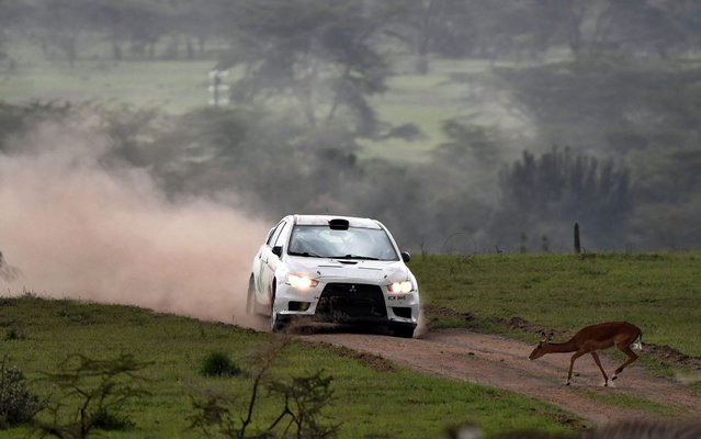 An impala skips off the course in front of an approaching rally car on July 6, 2019, during the second day of the safari rally at Soysambu ranch near Kenya's lakeside town of Naivasha. The Safari rally was started as an east African competition between Kenya, Uganda and Tanzania to celebrate the coronation of Britain's Queen Elizabeth II in 1953. In 2003 it was dropped off the world circuit due to concerns over safety, organization and finances. (Photo by Tony Karumba/AFP Photo)