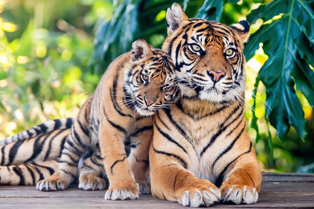 This handout photograph taken on June 11, 2019 and released by the Taronga Zoo on July 29 to coincide with International Tiger Day, shows Sumatran tiger Kartika with her seven-month old cub, one of three born earlier this year, at the Taronga Zoo in Sydney. As few as 380 Sumatran Tigers are left in the wild and are in dire need of protection due to habitat loss from unsustainable palm oil farming and the illegal wildlife trade. (Photo by Rick Stevens/Taronga Zoo/AFP Photo)