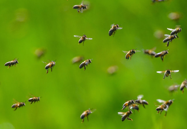 Bees at the edge of a meadow in Brandenburg, Germany. A report in the US this week said beekeepers across the country had lost four in 10 of their honeybee colonies in the last year. (Photo by Patrick Pleul/dpa)