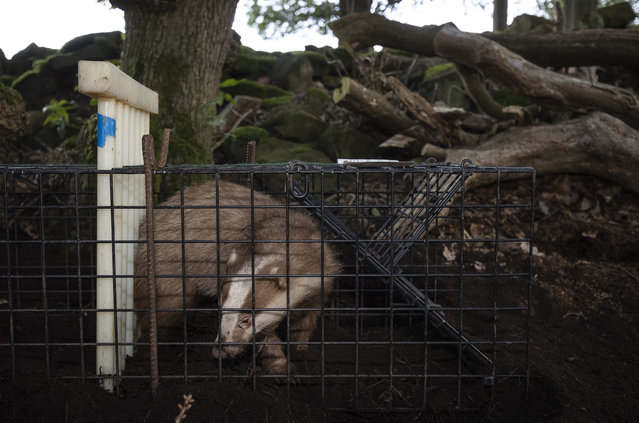 A rare Erythristic Badger is stands in a trap before being vaccinated on September 03, 2019 in the Peak District, England. The 'Derbyshire Badger Vaccination Project', run and funded by Derbyshire Wildlife Trust and the National Trust, aims to vaccinate badgers at several key sites in the Peak District National Park, against Bovine tuberculosis (bTB), a disease that is thought, though not proven to be spread between Badgers and cattle. The infectious disease has pitted wildlife advocates and some members of the farming community against each other, with the method of containing the disease, vaccinating or culling, the source of the conflict. Despite around £300,000 GBP worth of government funding from the Department of Environment, Food and Rural Affairs (Defra) towards the vaccination project, the government is still considering applications to cull animals in the Derbyshire area this Autumn, an incredibly emotive and controversial method that is both expensive and its effectiveness, according to scientific evidence, not proven. TB's effect on the farming community has unquestionably been devastating however, with around 10,000 cattle being slaughtered in 2018, at a cost to farmers and taxpayers of about £120 million GBP a year and is thought to be on the increase. Finding a solution to the problem is one of the countryside's biggest challenges and the most contentious wildlife management debates currently in the UK. (Photo by Dan Kitwood/Getty Images)