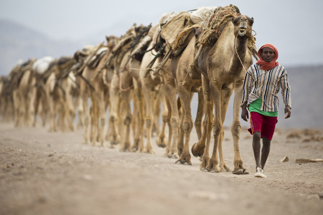 February 7, 2014 – Danakil Desert, Ethiopia: Camel caravans are used for carrying salt through the Danakil desert in the Afar Triangle. (Photo by Ziv Koren/Polaris)