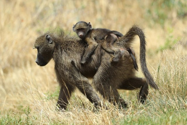 A Baboon and offspring look on during day two of the Nedbank Golf Challenge at Gary Player CC on November 11, 2016 in Sun City, South Africa. (Photo by Warren Little/Getty Images)