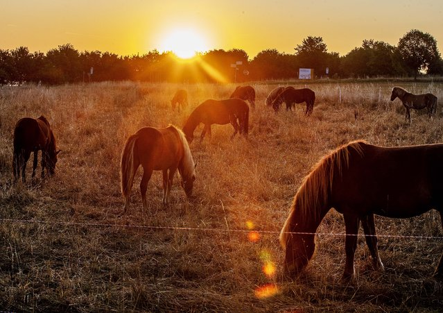 Icelandic stallions graze on a meadow in Wehrheim near Frankfurt, Germany, as the sun rises early Friday, August 23, 2019. (Photo by Michael Probst/AP Photo)