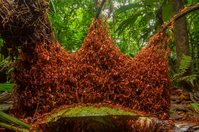 Invertebrates behaviour winner: The Architectural Army by Daniel Kronauer, US. At dusk, Kronauer tracked the colony of nomadic army ants as it moved, travelling up to a quarter of a mile through the rainforest near La Selva biological station, in north-eastern Costa Rica. The ants would use their bodies to build a new daytime nest to house the queen and larvae. They would form a scaffold of vertical chains by interlocking claws on their feet and then create a network of chambers and tunnels into which the larvae and queen would be moved from the last bivouac. (Photo by Daniel Kronauer/2019 Wildlife Photographer of the Year)