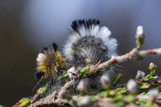 A pale tussock moth (Calliteara pudibunda) larva or caterpillar just after moulting on heather on Hankley Common, Surrey, England on April 30, 2019. (Photo by Gillian Pullinger/Alamy Stock Photo)