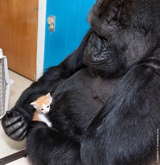 Koko the gorilla has loved cuddling and nurturing kittens since 1984. Gorilla Foundation volunteer Janis Turner arranged to have a litter of orphaned kittens visit Koko in September 2009, and Koko became especially enamored with a tiny orange kitten named Tigger, pictured here