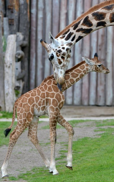 Young giraffe Madiba is cared for by its mother Andrea in their enclosure in the zoo Leipzig, eastern Germany, on July 1, 2014. Madiba was born on June 12, 2014. (Photo by Hendrik Schmidt/AFP Photo/DPA)