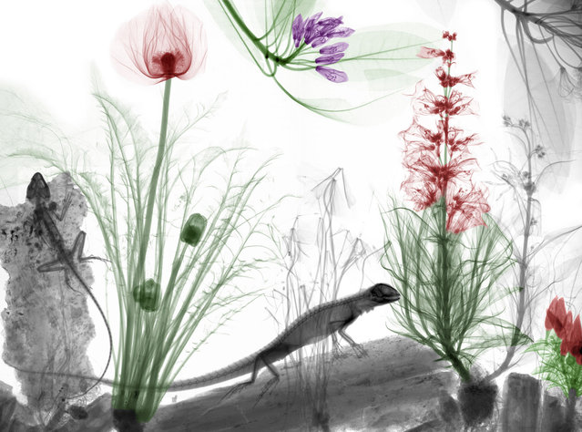 Coloured X-ray of lizards. A physicist has used X-ray to create an extraordinary collection of artwork. Arie van't Riets pictures reveal birds, fish, monkeys and flowers in an incredible new light. The 66-year-old, from Bathmen in the Netherlands, began X-raying flowers as a means to teach radiographers and physicians how the machine worked. But after adding a bit of colour to the pictures, the retired medical physicist realised the potential for an exciting new collection of art. (Photo by Arie van't Riet/Barcroft Media)