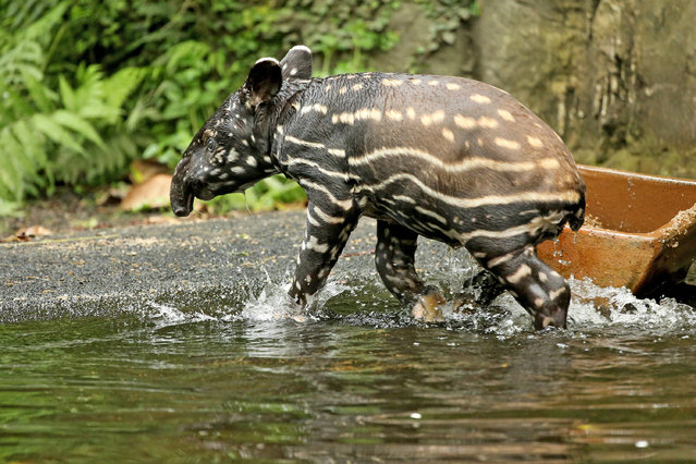 The nearly four-week-old Tapir cub bathes on June 28, 2016 in Gondwanaland at the zoo in Leipzig, Saxony. (Photo by Jan Woitas/DPA)