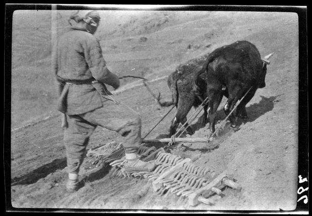 Harrowing. China, Beijing, 1917-1919. (Photo by Sidney David Gamble)