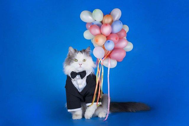 Cat poses with balloons in a tux. (Photo by Svetlana Valyiskaya/Mercury)