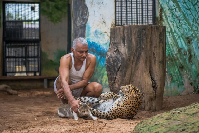 Prakash Amte is seen playing with the Leopard and his pet cat on September 19, 2017 in Maharashtra, India. (Photo by Haziq Qadri/Barcroft Media)