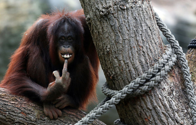 A female orangutan sits on a tre in her enclosure a the Zoo in the northern German city of Rostock on October 5, 2012. (Photo by Jens Buttner/AFP Photo)