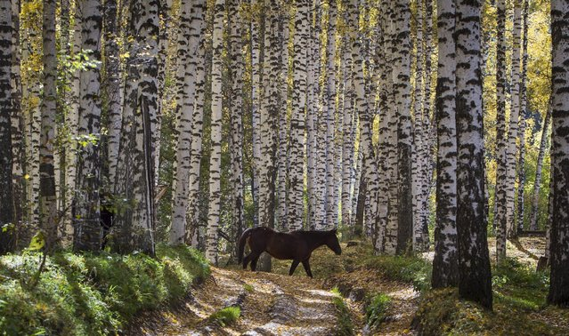 A horse walks during a sunny autumn day in a forest outside Almaty, Kazakhstan, October 2, 2015. (Photo by Shamil Zhumatov/Reuters)