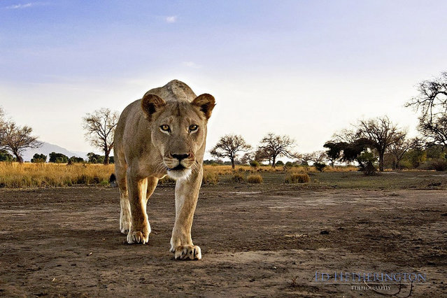 Lion Steals Photographer's Camera