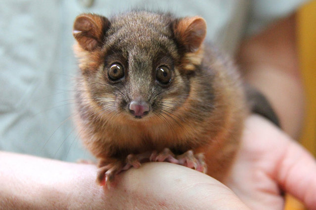 A handout picture made available by Australia's Taronga Zoo shows an orphaned Brushtail Possum joey nicknamed 'Bettina' at Taronga Zoo in Sydney, 06 October 2015. Zoo keeper Felicity Evans has taken on the role of surrogate mother to the four-month-old possum, carrying a makeshift pouch and waking in the middle of the night to bottle feed and toilet the joey. (Photo by EPA/Taronga Zoo)