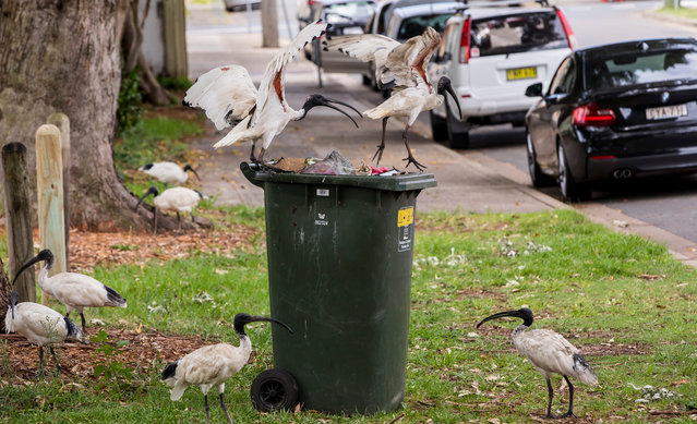 Today ibises are more often seen wading through landfills than waterside vegetation, with their diet expanding to include scrap and refuse (and human vomit) along with worms, fish and frogs. (Photo by Rick Stevens/The Guardian)