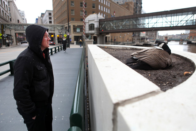 Jared Eisenhauer of Milwaukee takes a look at a goose nesting in a flower bed on the Wisconsin Ave. bridge, Friday, April 19, 2013. (Photo by Mike De Sisti)