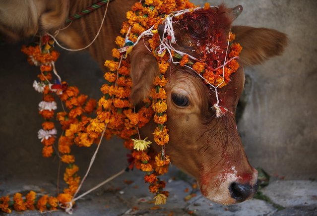 A cow adorned with garlands and smeared with vermilion powder is pictured during a religious ceremony in Kathmandu, Nepal November 11, 2015. (Photo by Navesh Chitrakar/Reuters)