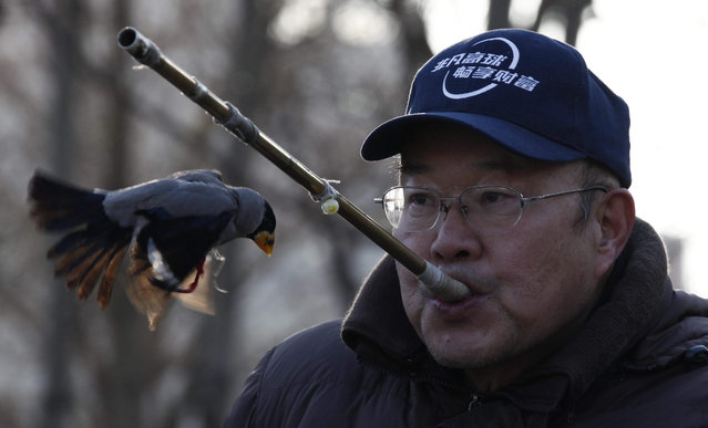 "A picture made available on 05 December 2015 shows a trainer using a metal tube to launch plastic balls that is later retrieved by a bird locally known as ""Wutong"", which is commonly identified by a yellow beak and originates from Northern China, in Beijing, China, 03 December 2015. Bird trainers, or ""birdmen"" to many locals, are often seen in public spaces with their trained birds doing routines similar to a dog owner training a dog to retrieve or fetch an item thrown at a distance.  (Photo by Rolex Dela Pena/EPA)"