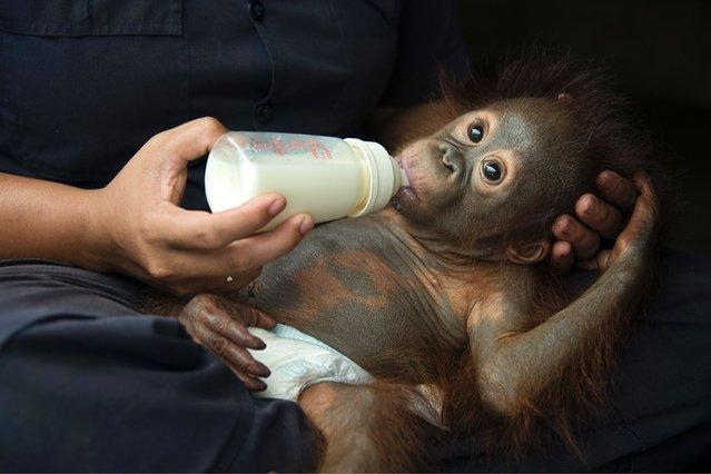 Orangutan caretaker bottle-feeding one year old infant in the humid Borneo rainforest, on July 15, 2013. (Photo by Suzi Eszterhas/Minden/Solent)