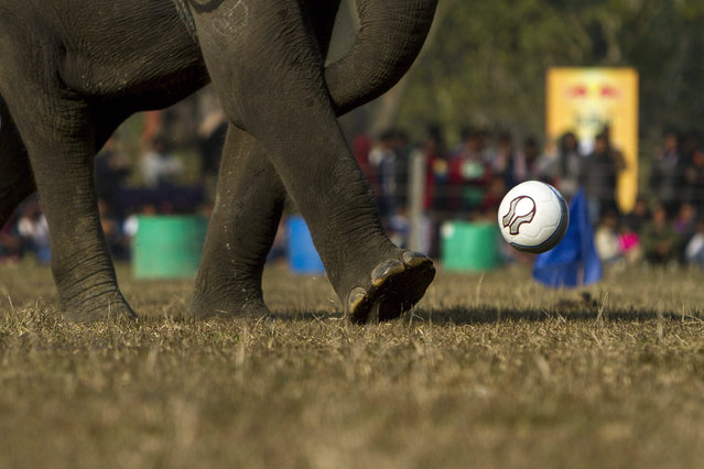 An elephant tries to kick a soccer ball during an elephant soccer match on the second day of the 12th Chitawan Elephant Festival at Sauhara, Chitawan, some 154 kilometer from the capital of Kathmandu, Nepal, 27 December 2015. The five-day-long fair was organized by the regional hotel association of Sauraha to promote tourism in Nepal. An elephant race, a bullock cart race, a horse cart race, elephant soccer, an elephant beauty pageant and various culture activities will be held during the event. (Photo by Hemanta Shrestha/EPA)