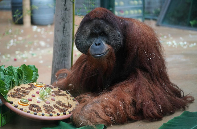 In this August 31, 2018 photo provided by the Audubon Nature Institute, orangutan Jambi gets a farewell treat at the Hannover Zoo in Hannover, Germany. Jambi is leaving Hannover for Dallas, where he'll spend a month in quarantine before moving on to the Audubon Zoo in New Orleans. (Photo by Hannover Adventure Zoo/Audubon Nature Institute via AP Photo)