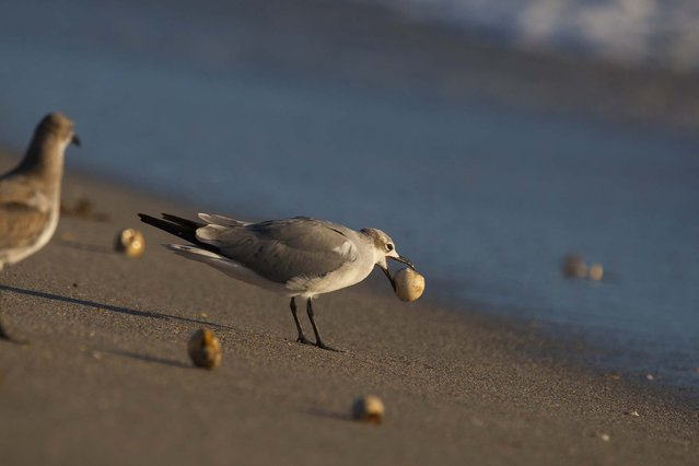 A bird makes a meal out of a sea turtle egg after the surf uncovered a nest on the beach in Coral Cove Park in Tequesta. (Photo by Greg Lovett/The Palm Beach Post)