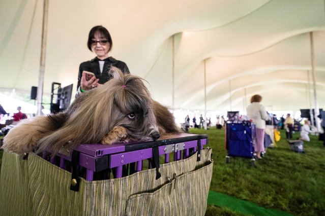 Turtle, a Tibetan terrier, rests in the staging area of the judging tent at the 145th Annual Westminster Kennel Club Dog Show, Saturday, June 12, 2021, in Tarrytown, N.Y. (Photo by John Minchillo/AP Photo)