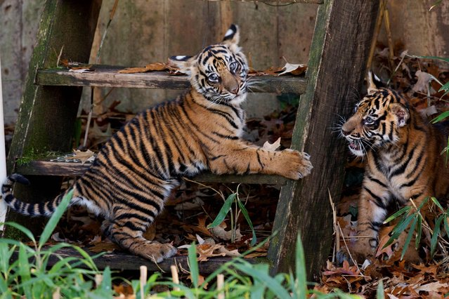 Two Sumatran tiger cubs, a male, Bandar and a female, Sukacita, play on a set of stairs as they make their public debut at the National Zoo in Washington, Monday Nov. 18, 2013. The two cubs were born in August and are now on public view. (Photo by Jacquelyn Martin/AP Photo)