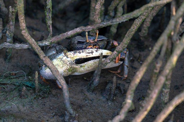A male fiddler crab (Afruca tangeri) in the roots of a black mangrove tree (Avicennia germinans) during diurnal low tide, Accra, Ghana on August 9, 2021. (Photo by Muntaka Chasant/Rex Features/Shutterstock)
