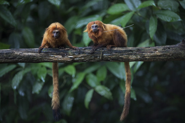 """Golden lion tamarins sit on a tree branch in the Atlantic Forest in Silva Jardim, state of Rio de Janeiro, Brazil, Monday, April 15, 2019. """"The Atlantic rainforest is one of the planet's most threatened biomes, more than 90 percent of it was deforested"""", said Luis Paulo Ferraz of the nonprofit group called Save the Golden Lion Tamarin. """"What is left is very fragmented"""". (Photo by Leo Correa/AP Photo)"""