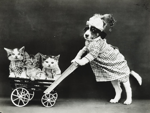 Photograph shows a puppy wearing a dress and pushing three kittens in a wagon or stroller, 1914. (Photo by Harry Whittier Frees/Library of Congress)