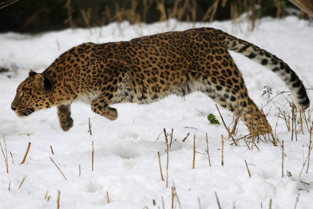 """A female leopard moves inside a snow covered enclosure at Dachigam Wildlife Sanctuary on the outskirts of Srinagar, India, on January 23, 2014. Wildlife authorities in Indian Kashmir are making special efforts to provide food to the endangered stags known as """"hangul"""", as they face difficulty in finding vegetation following heavy snowfall, wildlife officials said. (Photo by Dar Yasin/Associated Press)"""