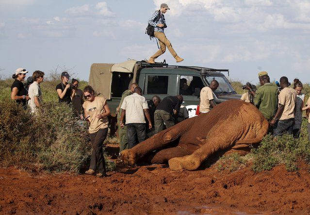 An elephant lies as Kenya Wildlife Service and Save The Elephants undertake the collaring of ten elephants ranging near the Standard Gauge Railway to fit them with advanced satellite radio tracking collars in Tsavo National Park, Kenya March 15, 2016. (Photo by Goran Tomasevic/Reuters)