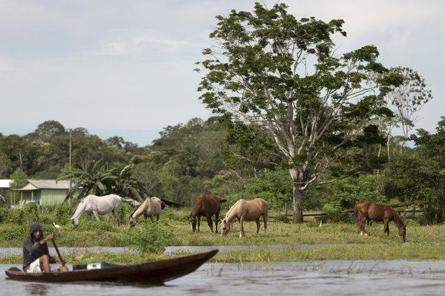Horses are seen grazing near the banks of the Solimoes river that flooded the rural municipality of Manacapuru, in Amazonas state May 5, 2015. (Photo by Bruno Kelly/Reuters)