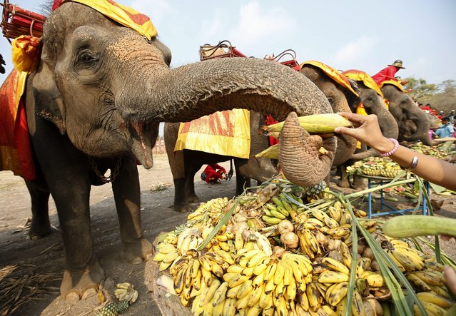 Elephants enjoy various kinds of fruits and vegetables during an all-you-can-eat elephant buffet held to mark the National Elephant Day at the ancient historical city of Ayutthaya, Thailand, 13 March 2014. The annual National Thai Elephant Day is held on 13 March to celebrate and drawing public attention for more concerted effort to save the species and protect its habitat. Thailand sees a severe decline with less than 3,000 wild elephants left in the kingdom. (Photo by Rungroj Yongrit/EPA)
